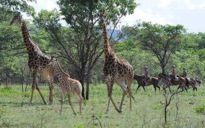 Safari skal opleves på hesteryg